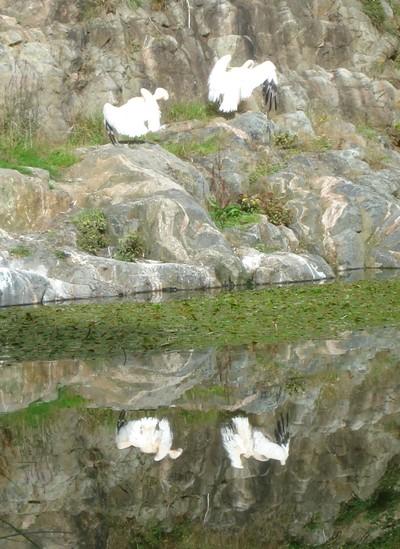 Storks_reflected_2